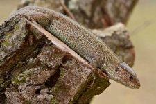 jašterica krátkohlavá - Lacerta agilis
