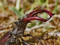 roháč veľký - Lucanus cervus