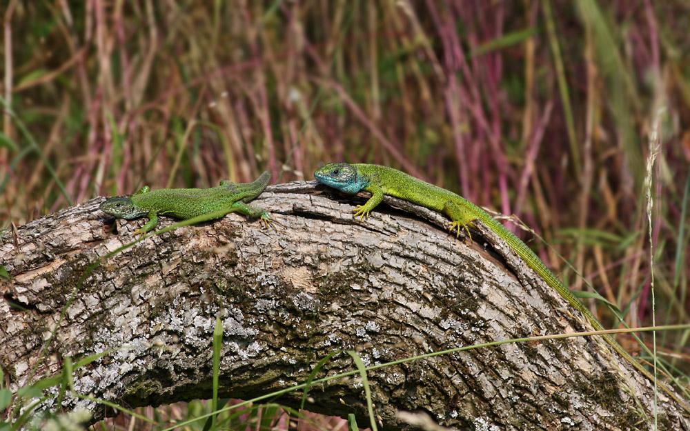 jašterica zelená - Lacerta iridis