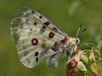 jasoň červenooký - Parnassius apollo