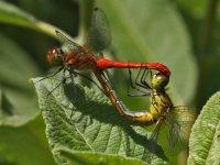 vážka červená - Sympetrum sanguineum