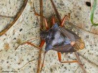 bzdocha červenonohá -Pentatoma rufipes