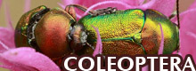 GALLERA - COLEOPTERA