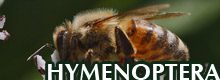 GALLERY - HYMENOPTERA