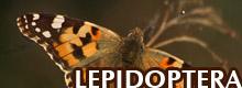 GALLERA - LEPIDOPTERA