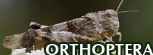 GALLERY - ORTHOPTERA