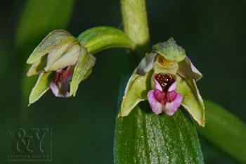 kruštík širokolistý pravý - Epipactis helleborine subsp. helleborine