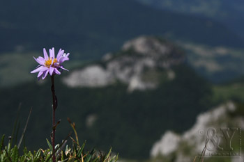 astra alpínska - Aster alpinus