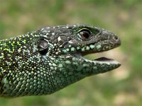 jašterica zelená - Lacerta viridis