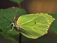 žltáčik rešetliakový - Gonepteryx rhamni