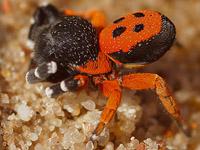 stepník - Eresus moravicus (samček)