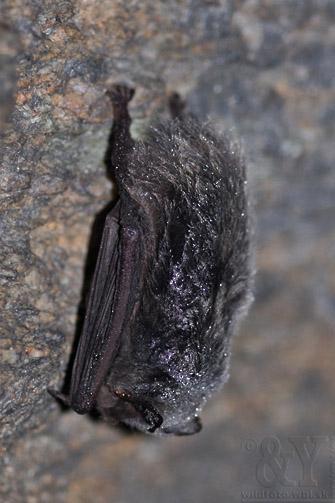 uchaňa čierna - na uchu parazitujú roztočníky